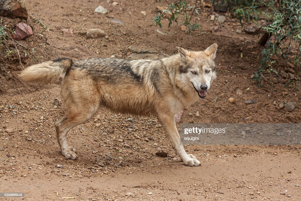 Mexican Wolf : Stock Photo