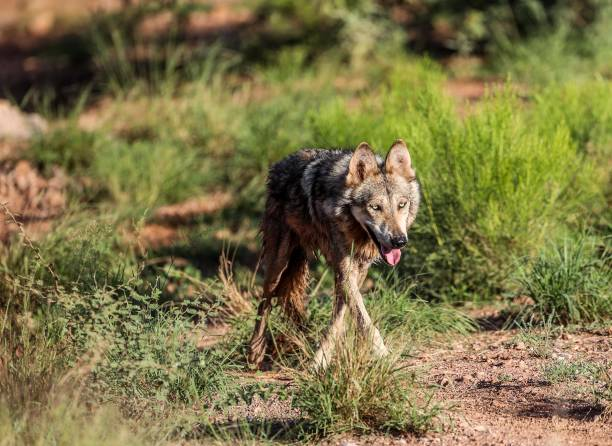 Mexican Wolf Walking On Grass In Forest
