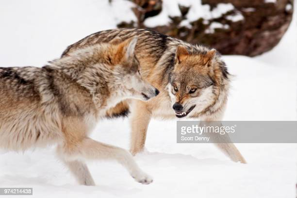 mexican wolfs fighting, brookfield, illinois, usa - exploitation stock pictures, royalty-free photos & images