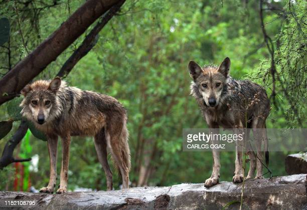 Mexican wolves Garita and Fantasma parents of six cubs are seen at a special enclosure in the Tamatan Zoo Ciudad Victoria Tamaulipas state Mexico on...