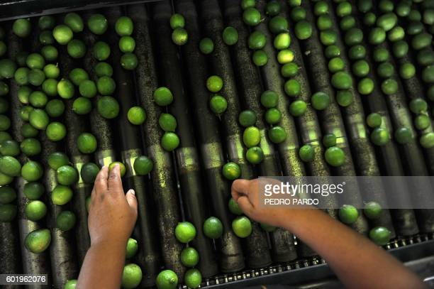 A Mexican worker selects lemons in a distribution center in Nueva Italia Michoacan State Mexico on September 8 2016 After the disappearing of the...