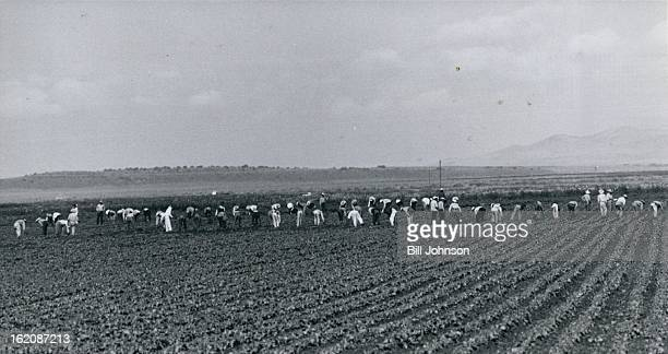 AUG 3 1961 AUG 6 1961 Mexican Workers Pulling Weeds On Truck Farm Between Fort Garland And Blanca Colo Local growers say the supply of domestic field...