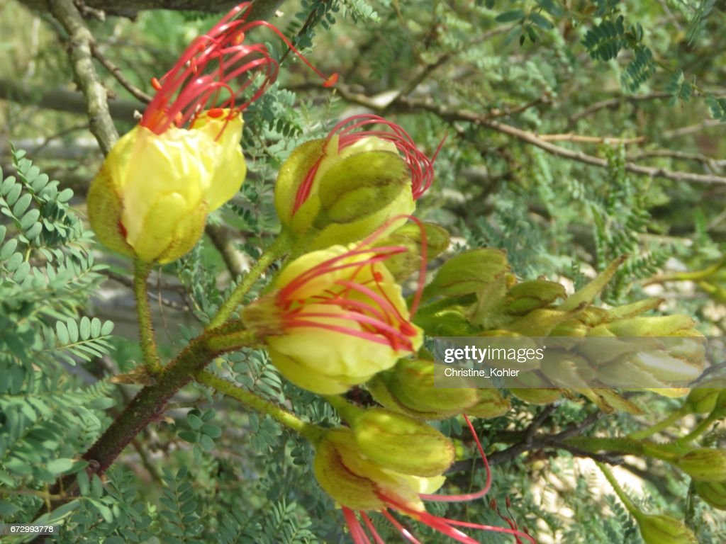 Mexican Yellow Bird Of Paradise Legume Stock Photo Getty Images