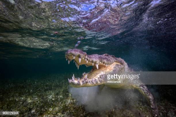 Mexico, American crocodile under water