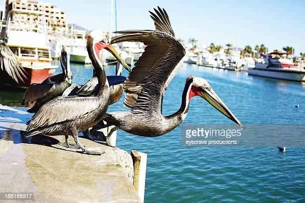 Mexico brown pelicans pier