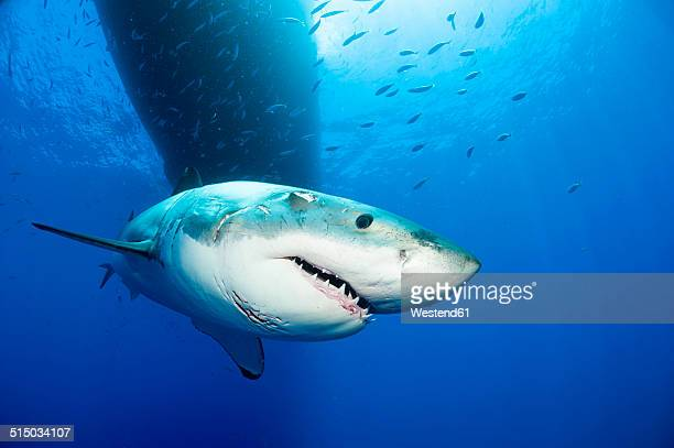Mexico, Guadalupe, Pacific Ocean, portrait of white shark, Carcharodon carcharias