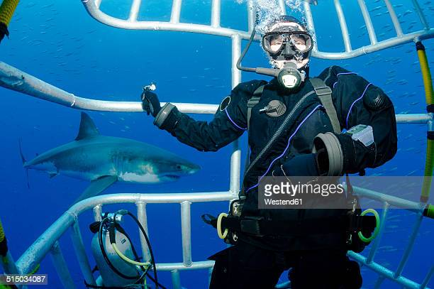 mexico, guadalupe, pacific ocean, scuba diver in shark cage with white shark, carcharodon carcharias, in the background - great white shark stock pictures, royalty-free photos & images