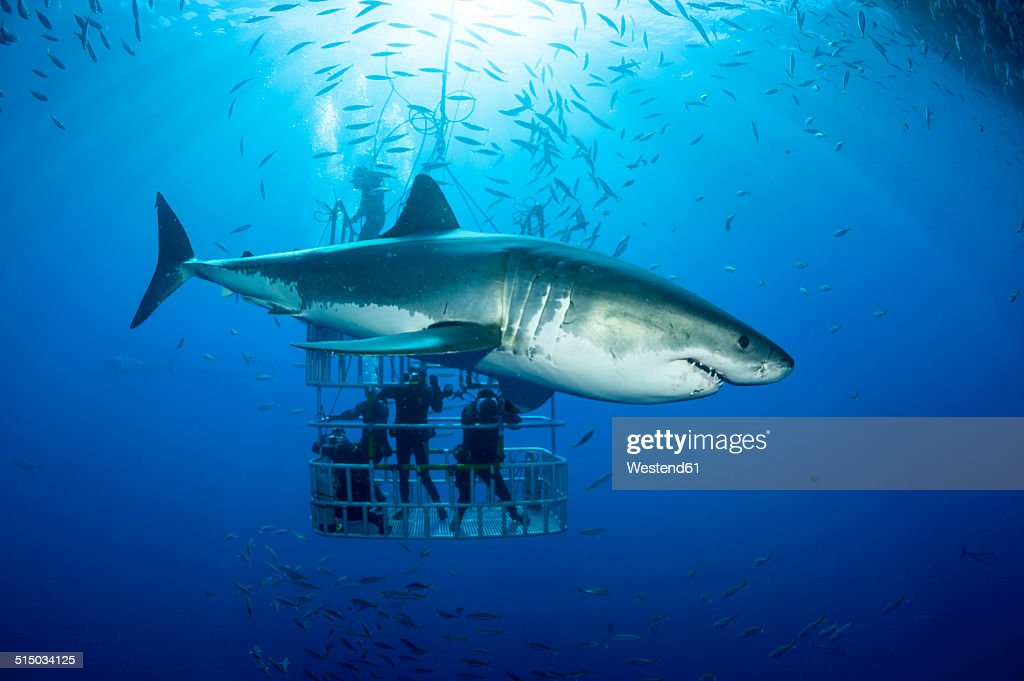 Mexico, Guadalupe, Pacific Ocean, scuba divers in shark cage with white shark, Carcharodon carcharias, in the foreground : Stock Photo