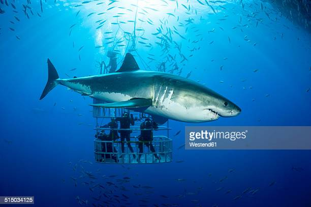 Mexico, Guadalupe, Pacific Ocean, scuba divers in shark cage with white shark, Carcharodon carcharias, in the foreground