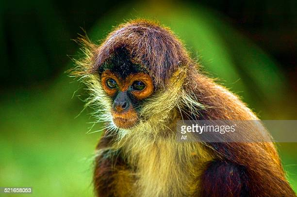 mexico - xcaret - spidermonkey - yucatan peninsula stock pictures, royalty-free photos & images