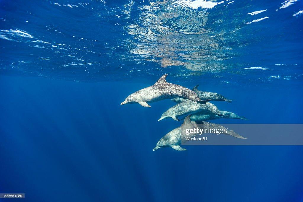 Mexico, Yucatan, Isla Mujeres, Caribbean Sea, Atlantic spotted dolphins, Stenella frontalis : Foto de stock