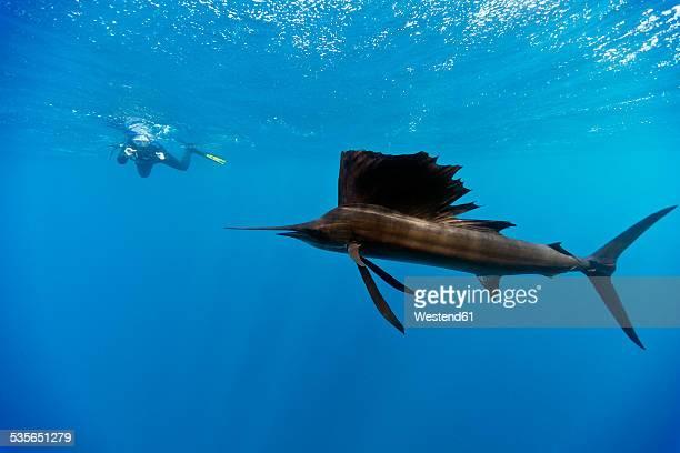 Mexico, Yucatan, Isla Mujeres, Caribbean Sea, Indo-Pacific sailfish, Istiophorus platypterus, and diver