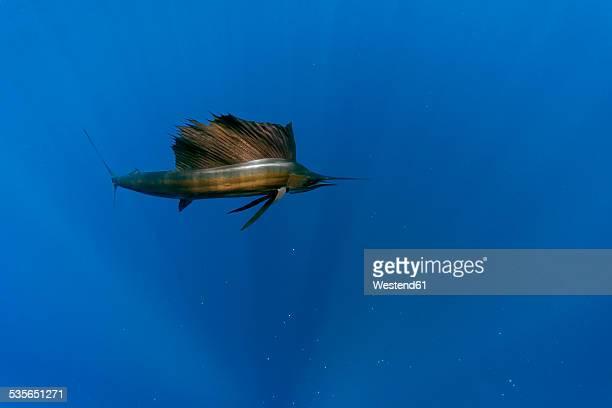 mexico, yucatan, isla mujeres, caribbean sea, indo-pacific sailfish, istiophorus albicans - marlin stock photos and pictures