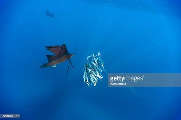 Mexico, Yucatan, Isla Mujeres, Caribbean Sea, Indo-Pacific sailfish, Istiophorus platypterus, hunting sardines, Sardina pilchardus