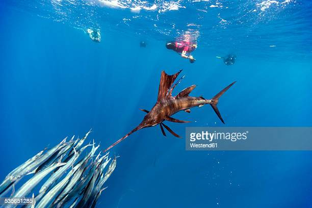 mexico, yucatan, isla mujeres, caribbean sea, indo-pacific sailfish, istiophorus platypterus, hunting sardines, sardina pilchardus, divers in the background - sea swimming stock photos and pictures