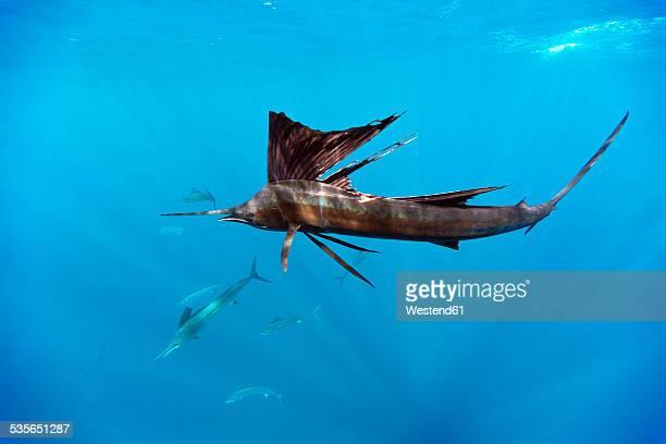 mexico, yucatan, isla mujeres, caribbean sea, indo-pacific sailfish, istiophorus platypterus, hunting sardines, sardina pilchardus - mujeres fotos stockfoto's en -beelden