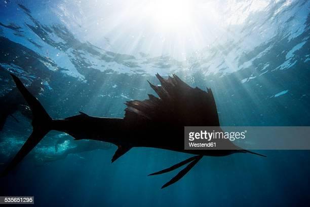 mexico, yucatan, isla mujeres, caribbean sea, indo-pacific sailfish, istiophorus platypterus - sailfish stock pictures, royalty-free photos & images