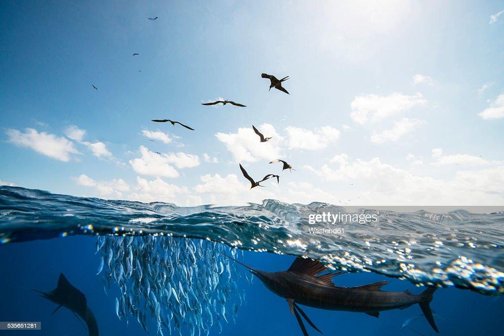 Mexico, Yucatan, Isla Mujeres, Caribbean Sea, Indo-Pacific sailfishes, Istiophorus platypterus, hunting sardines, Sardina pilchardus, Frigate birds : Stock Photo