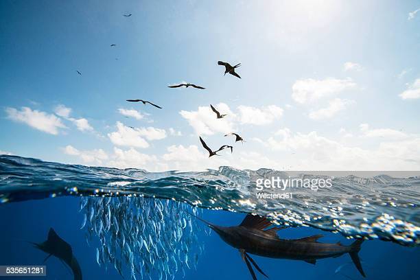 mexico, yucatan, isla mujeres, caribbean sea, indo-pacific sailfishes, istiophorus platypterus, hunting sardines, sardina pilchardus, frigate birds - frigate stock photos and pictures