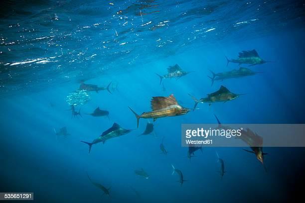 mexico, yucatan, isla mujeres, caribbean sea, indo-pacific sailfishes, istiophorus platypterus - isla mujeres stock pictures, royalty-free photos & images