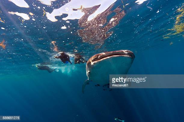 mexico, yucatan, isla mujeres, caribbean sea, whale shark, rhincodon typus, and divers - sea swimming stock photos and pictures