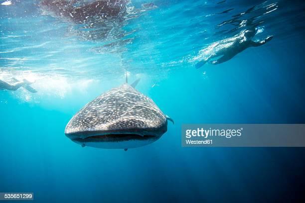 Mexico, Yucatan, Isla Mujeres, Caribbean Sea, Whale shark, Rhincodon typus, and divers