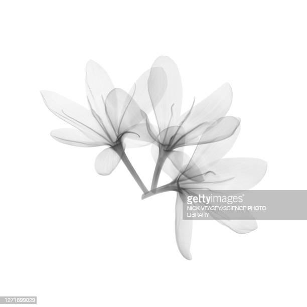 meyer lemon (citrus x meyeri) flowers, x-ray - flower stock pictures, royalty-free photos & images