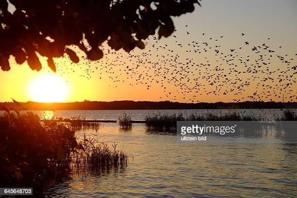 Müggelsee Abendstimmung am Südufer mit Vogelschwarm