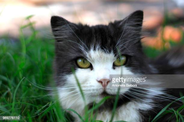 mia, a cat - antonella stock photos and pictures