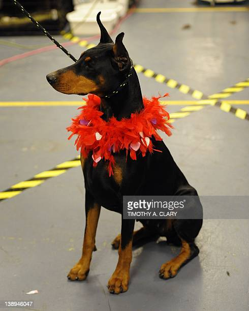 Mia a Doberman in the backstage area during the 136th Westminster Kennel Club Annual Dog Show held at Madison Square Garden February 14 2012 in New...