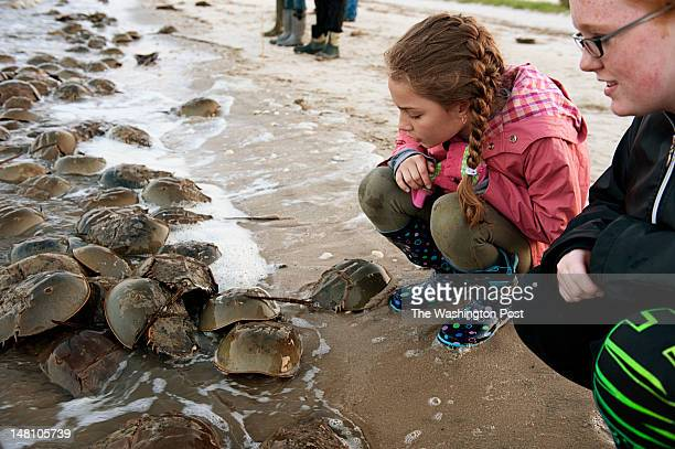 Mia Cellini and Tiara Ritter examine hundreds of horseshoe crabs that have arrived with the high tide on the Delaware Bay shoreline in Dover Delaware...