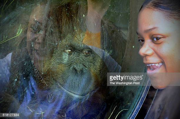 Mia Jones laughs as an Orangutan gets a closeup look at her Easter Monday at the Smithsonian National Zoo March 28 2016 in Washington DC This was the...