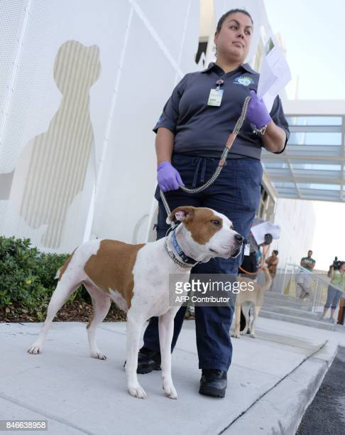 Miami Dade employee Kathryn Johnston stands with Belle Marie an American bulldog outside the Miami Dade Animal shelter to be sent to South Carolina...