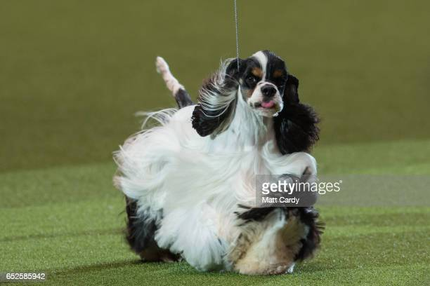 Miami Ink, an American Cocker Spaniel, is awarded Best In Show on the final day of the Crufts Dog Show at the NEC Arena on March 12, 2017 in...