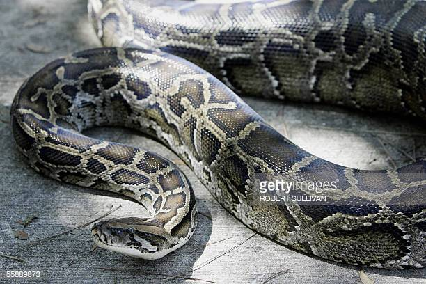 A 12foot Burmese python that was captured in the backyard of a home slithers on the ground at its new home at the AD Barnes Park 10 October 2005 in...