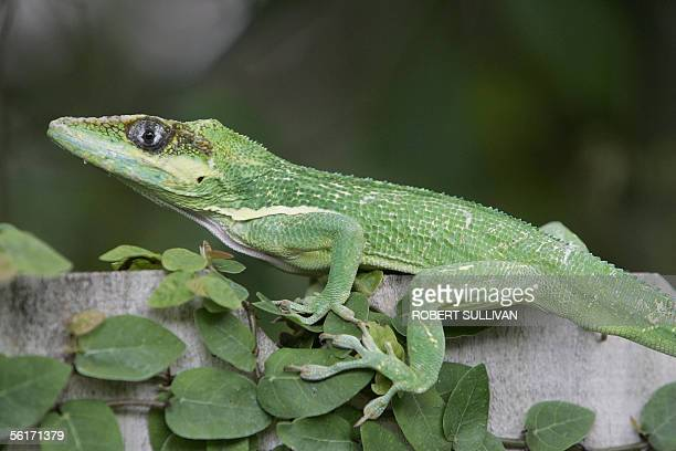 A Green Anole lizard sits in greenery on a park fence in Miami Florida 15 November 2005 Green Anoles live in the Southeastern United States from...