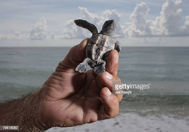 MiamiDade county sea turtle expert Bill Ahern holds a Loggerhead turtle as he prepares to release it into the ocean July 24 2007 in North Miami...