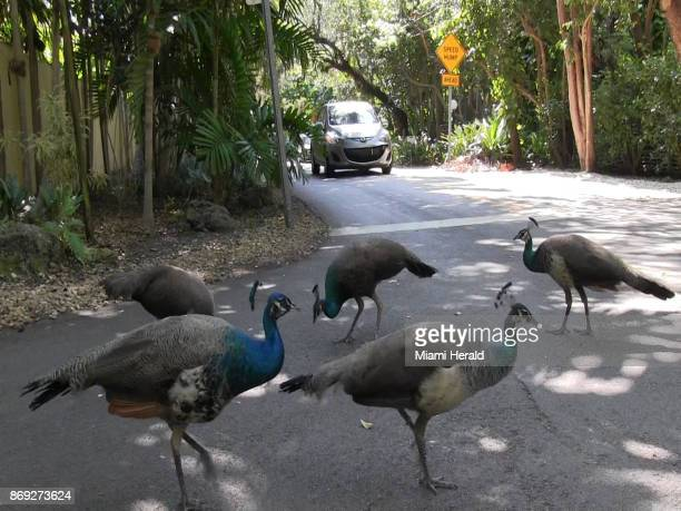 Miami's peacock population is growing and many neighbors are annoyed by the loud squawking noise the poop the destruction of their plants and the...