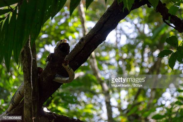 mica (corcovado, costa rica) - flying lemur stock pictures, royalty-free photos & images