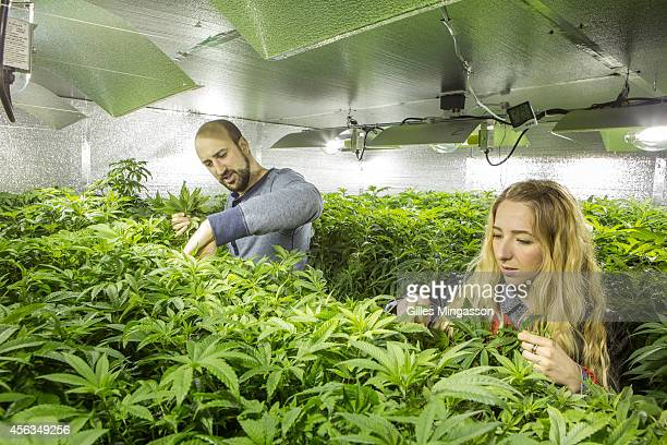Micah Sherman and Nicole Graf who moved from Brooklyn NY to cultivate cannabis care for the mother plants which will seed their 7000 sq feet indoor...