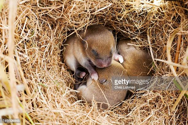 Mice in nest