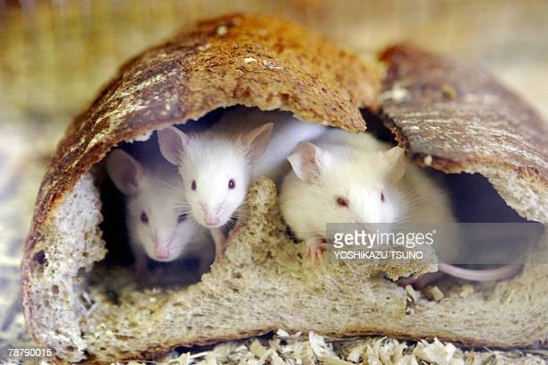 Mice peer out from a loaf of bread which they hollow out and use the crust to live in during an attraction for New Year visitors at the Inokashira...