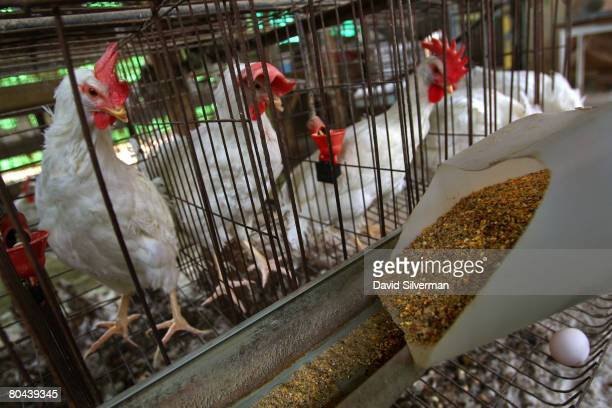 Michael Aronheim feeds battery hens in their cages at his family's egg farm on March 14 2008 in the farming community of Ramot Hashevim central...