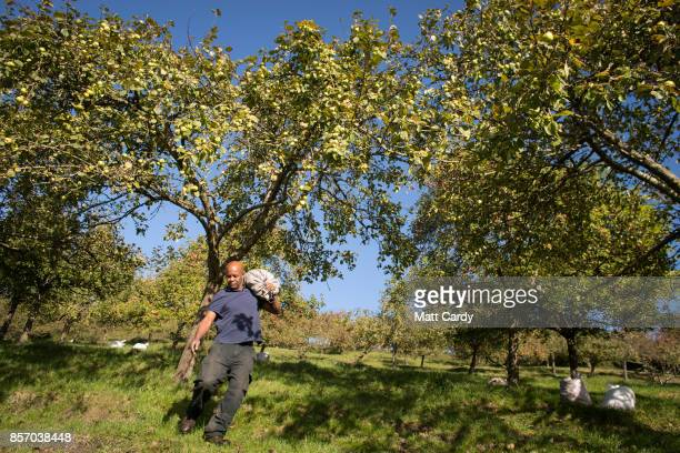 Michael Callender who works at Wilkins Cider Farm carries a sack of apples collected in a orchard at Lands End farm in the village of Mudgley on...