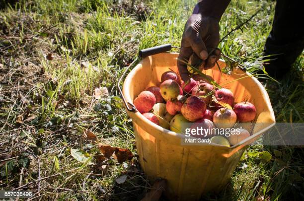 Michael Callender who works at Wilkins Cider Farm picks fallen apples from a tree in a orchard at Lands End farm in the village of Mudgley on October...