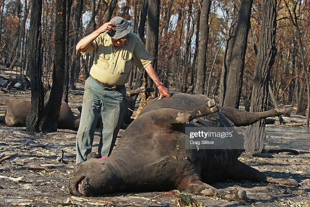 Michael Dennis, 80, stands beside the charred corpse of one of his pure bred Angus cattle, at his Seaton Farm on January 19, 2013 in Melbourne, Australia. Bushfires in Victoria have claimed one life and destroyed several houses as record heat continues to create extreme fire conditions throughout Australia.
