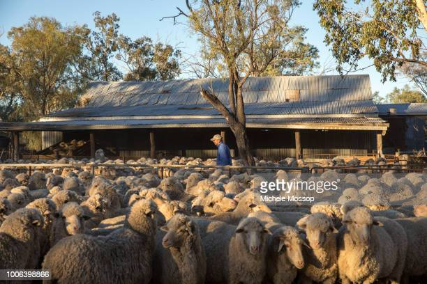 Michael McIntosh rounds the sheep in the yard ready for shearing on July 5 2018 in Moree Australia Penny and Michael McIntosh run 'Dowra' a 6000acre...
