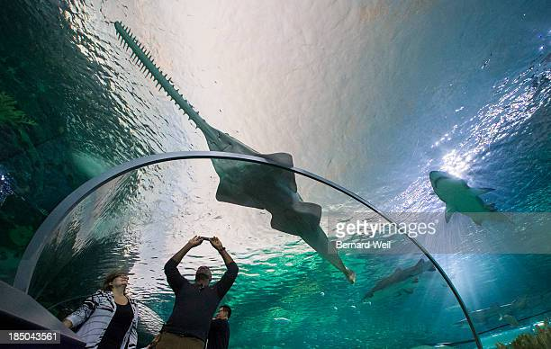 Michael McLean of Mississauga takes photos as a Sawfish and Sand Tiger sharks circle around in Dangerous Lagoon as Ripley's Aquarium of Canada opened...