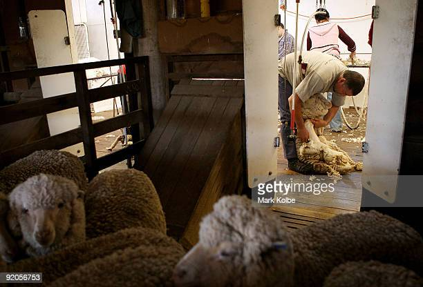 Michael Rowbottom shears sheep during spring shearing at Cherry Hill Pastoral Company property on October 19 2009 in Uralla Australia Shearing in...
