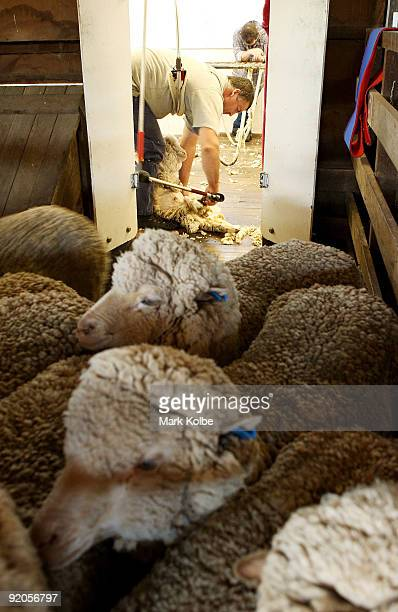 Michael Rowbottom shears sheep during spring shearing at Cherry Hill Pastoral Company property on October 19, 2009 in Uralla, Australia. Shearing in...